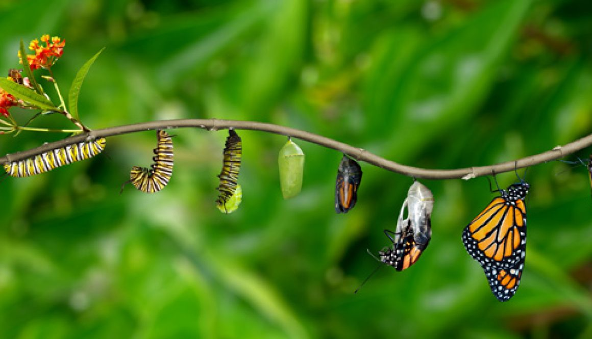 Butterfly-Life-Cycle_Christina-Whitefull